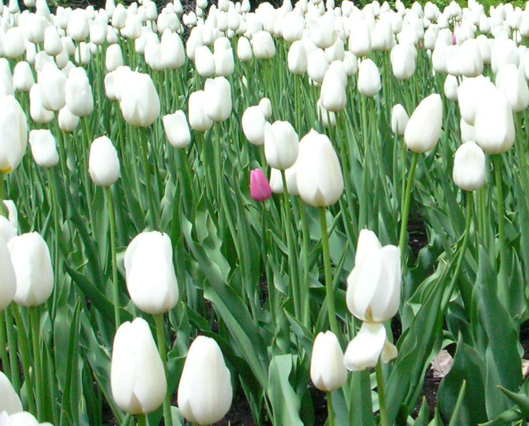 White flowers symbolism 6 wide wallpaper hdflowerwallpaper white flowers symbolism free wallpaper mightylinksfo