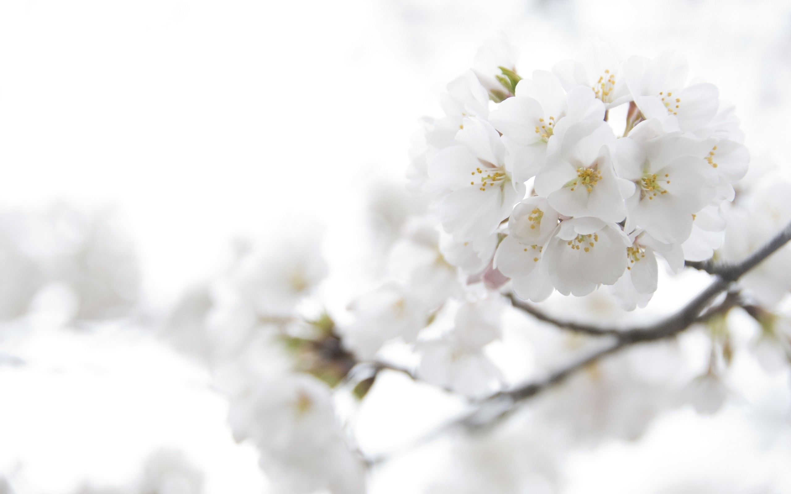 White flowers tumblr 31 background hdflowerwallpaper white flowers tumblr free wallpaper mightylinksfo