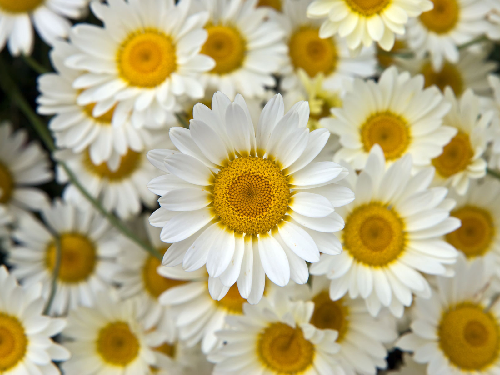White flowers tumblr 34 background hdflowerwallpaper white flowers tumblr background izmirmasajfo