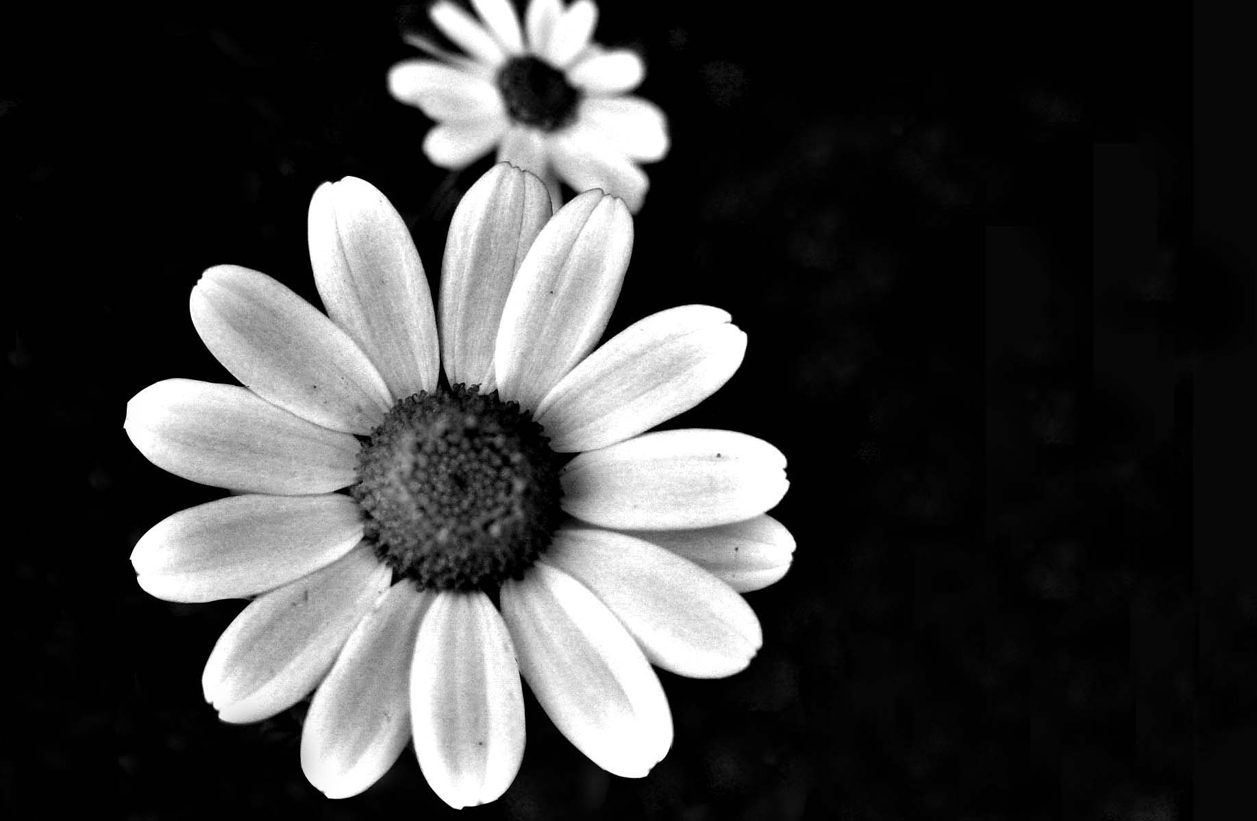 Tumblr Flowers Black And White