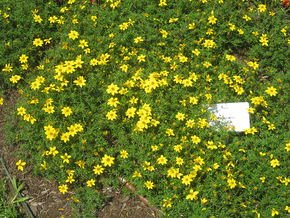 yellow flowers annuals  free hd wallpaper  hdflowerwallpaper, Natural flower