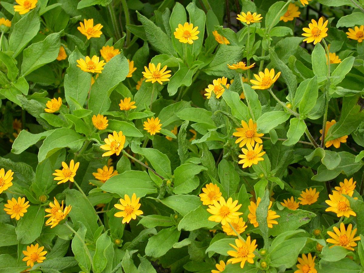 Yellow Flowers Annuals 34 Hd Wallpaper Hdflowerwallpaper