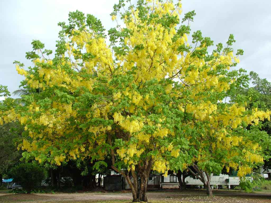 Yellow Flowering Trees Finest Long Racemes Of Yellow Flowers Long