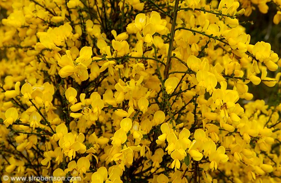 Yellow flowers bushes 29 background hdflowerwallpaper yellow flowers bushes free wallpaper mightylinksfo