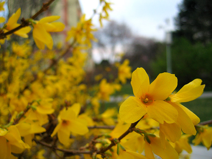 Yellow Flowers That Bloom In Spring Free Wallpaper