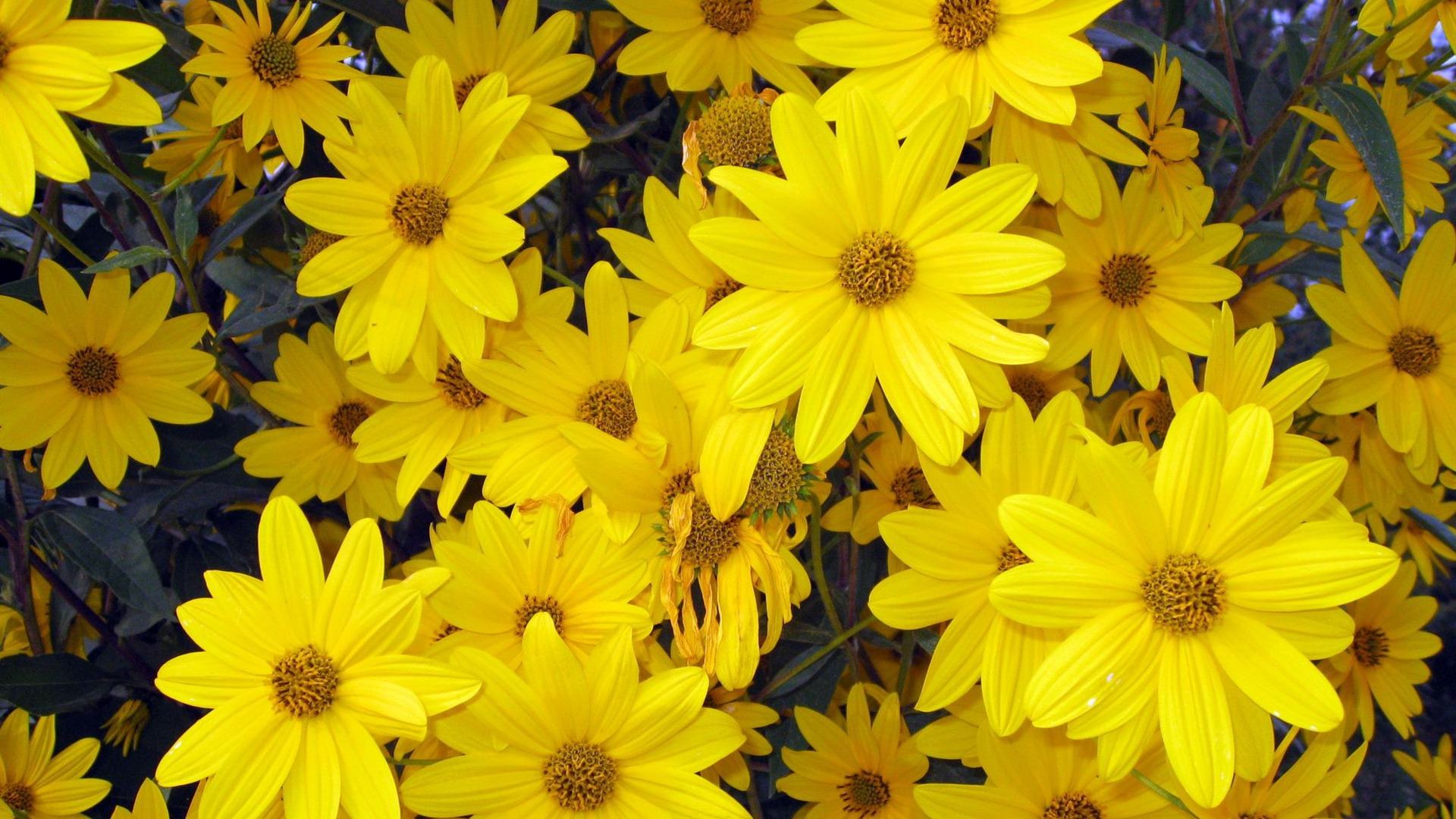 Yellow flowers that bloom in spring 5 free wallpaper - Flowers that bloom from spring to fall ...