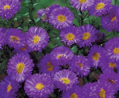 aster flower  free wallpaper  hdflowerwallpaper, Beautiful flower