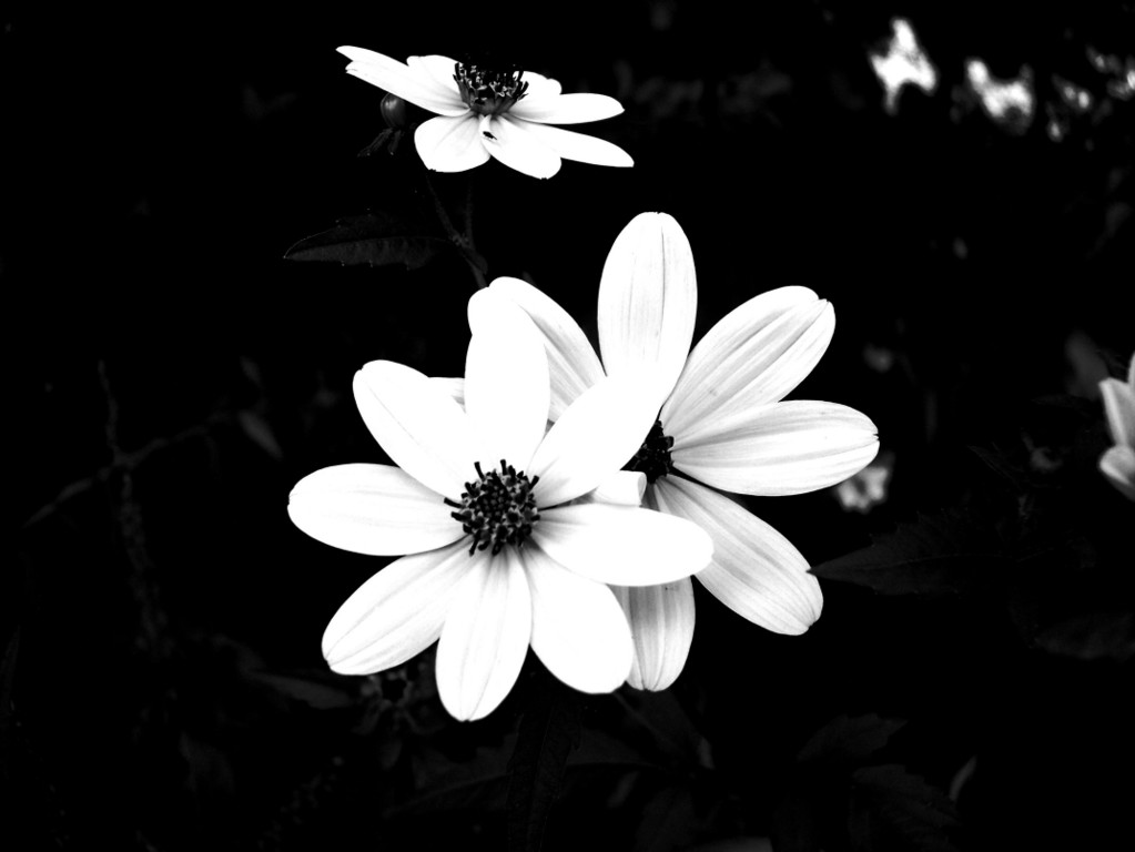 Black and white flower backgrounds 10 desktop background black and white flower backgrounds 10 desktop background mightylinksfo