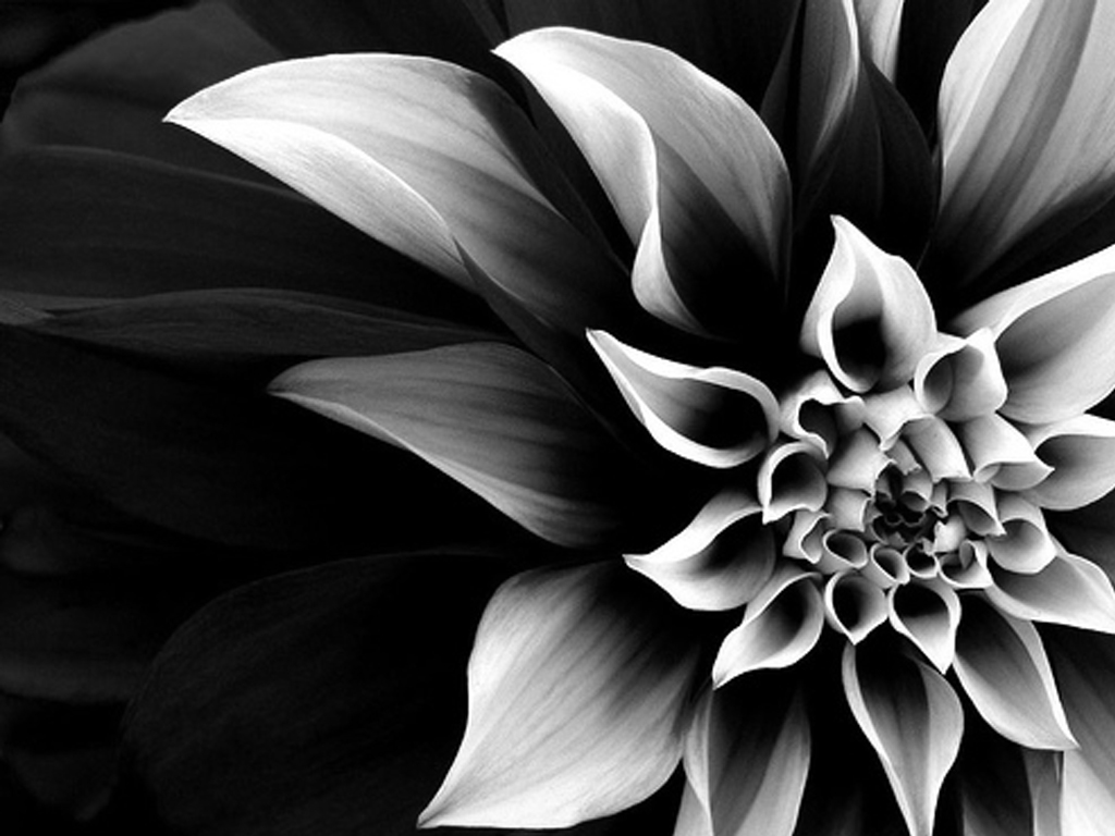 Black and white flowers wallpaper 11 free wallpaper black and white flowers wallpaper 11 free wallpaper mightylinksfo