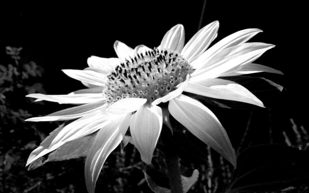 Tumblr black and white flowers tumblr background black and white amazing black and white flowers wallpaper wide wallpaper with tumblr black and white flowers mightylinksfo