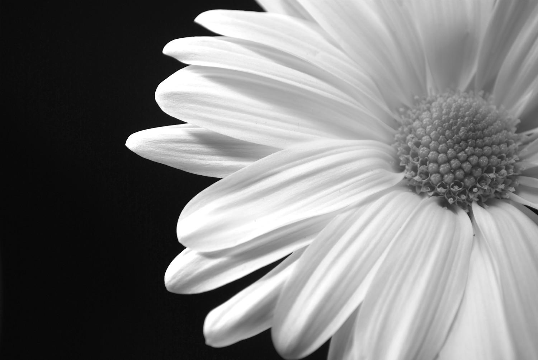 Black And White Flowers Wallpaper 27 Desktop Wallpaper