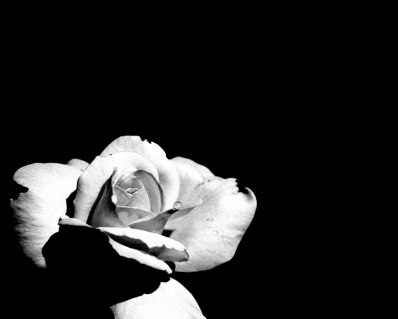 Black And White Flowers Wallpaper 7 Hd Wallpaper Hdflowerwallpaper