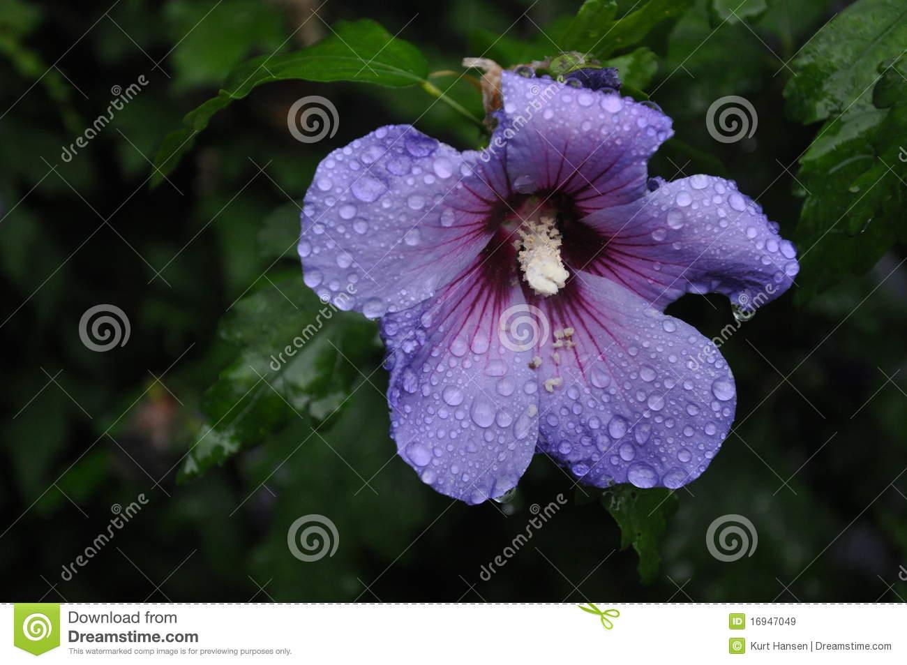 Flower in hawaiian language choice image flower wallpaper hd izmirmasajfo