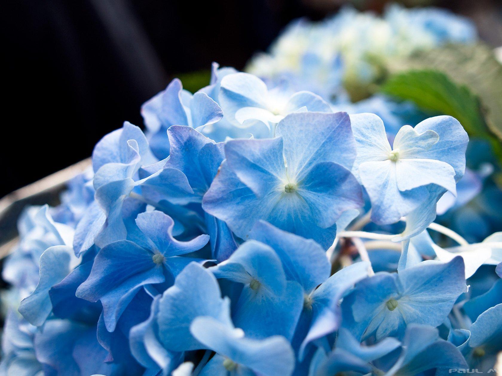 Цветок светло-синие цветки