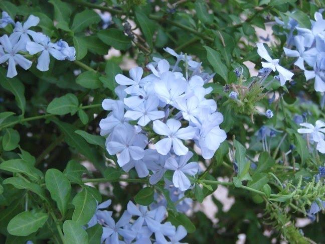 Blue Flowers On Bush 5 Widescreen Wallpaper