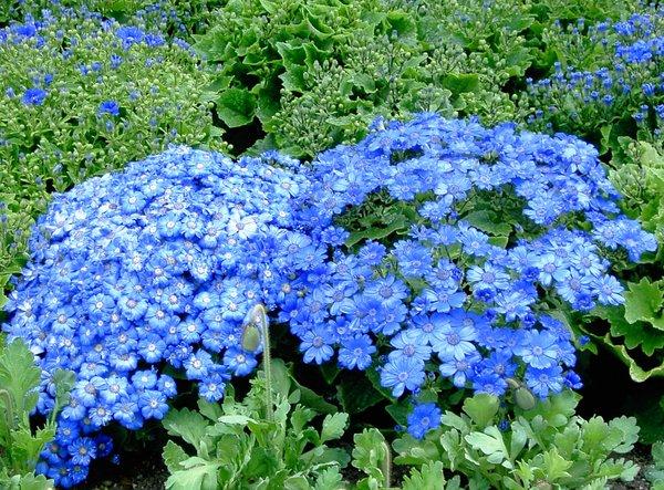 Blue flowers on bush 8 hd wallpaper for Blue flowering bush