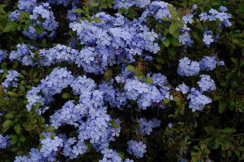 Blue Flowers On Bush 9 Free Wallpaper