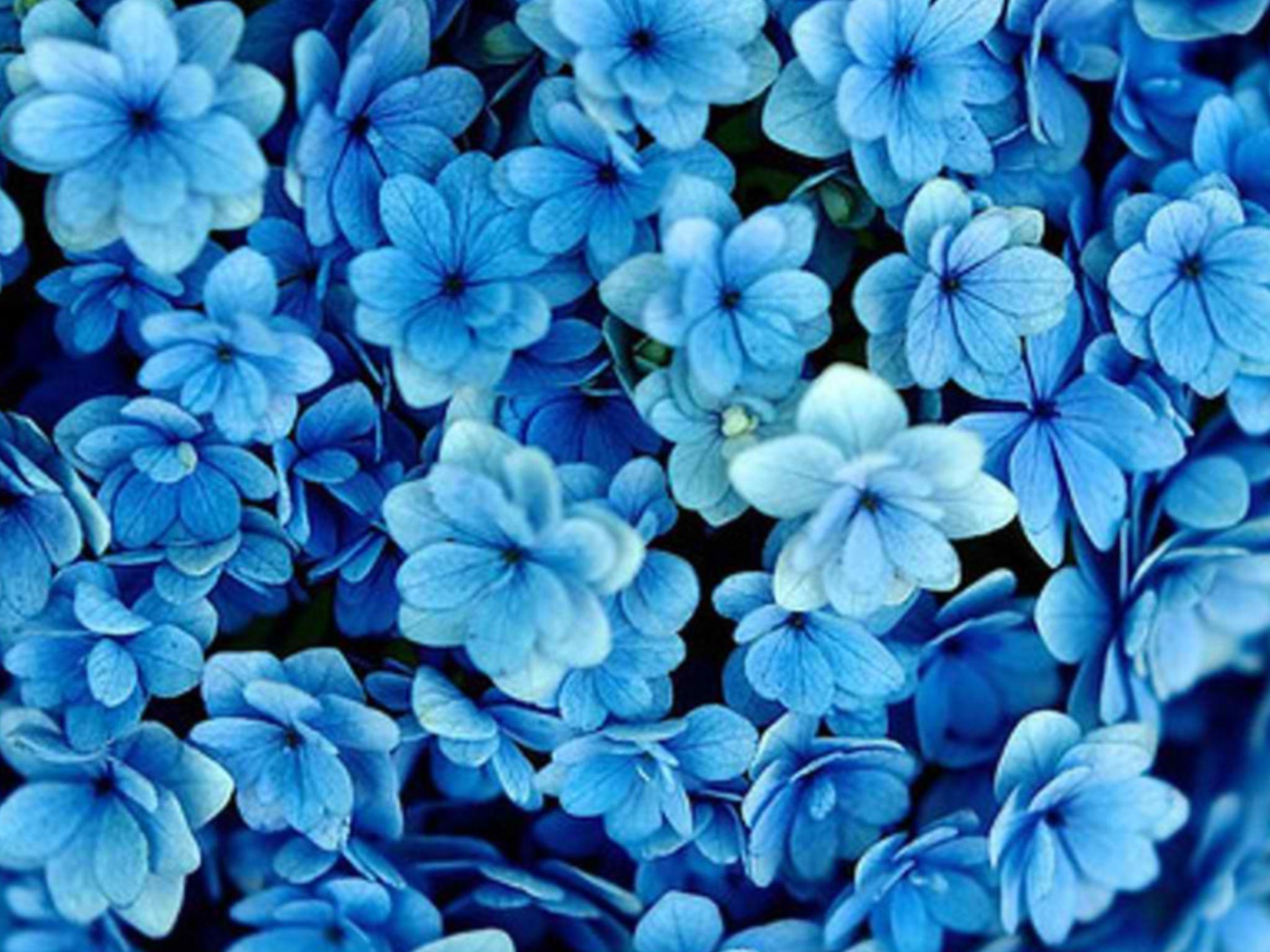 Pinterest Flowers: Blue Flowers On Pinterest 4 Free Hd Wallpaper
