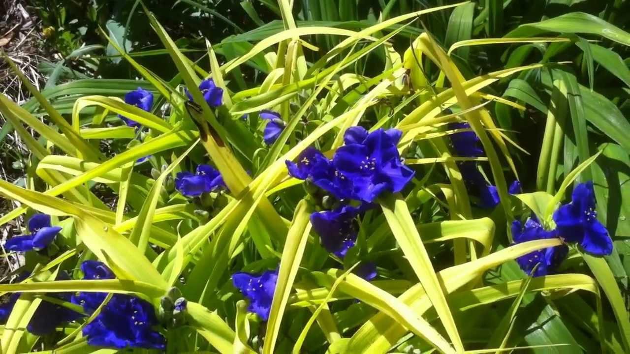 Blue Flowers Perennials 13 Free Hd Wallpaper Hdflowerwallpaper