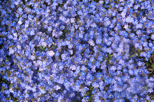 Blue flower ground cover perennial gallery flower decoration ideas blue flower ground cover perennial images flower decoration ideas blue flower ground cover perennial gallery flower mightylinksfo