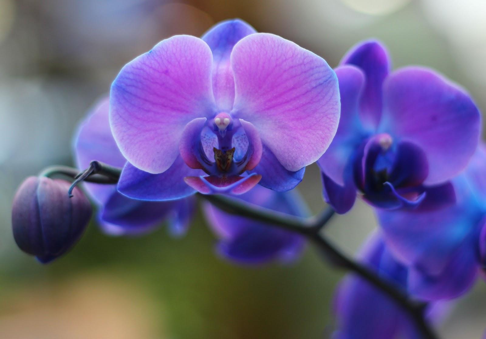 Орхидея Зигопеталум в домашних 47
