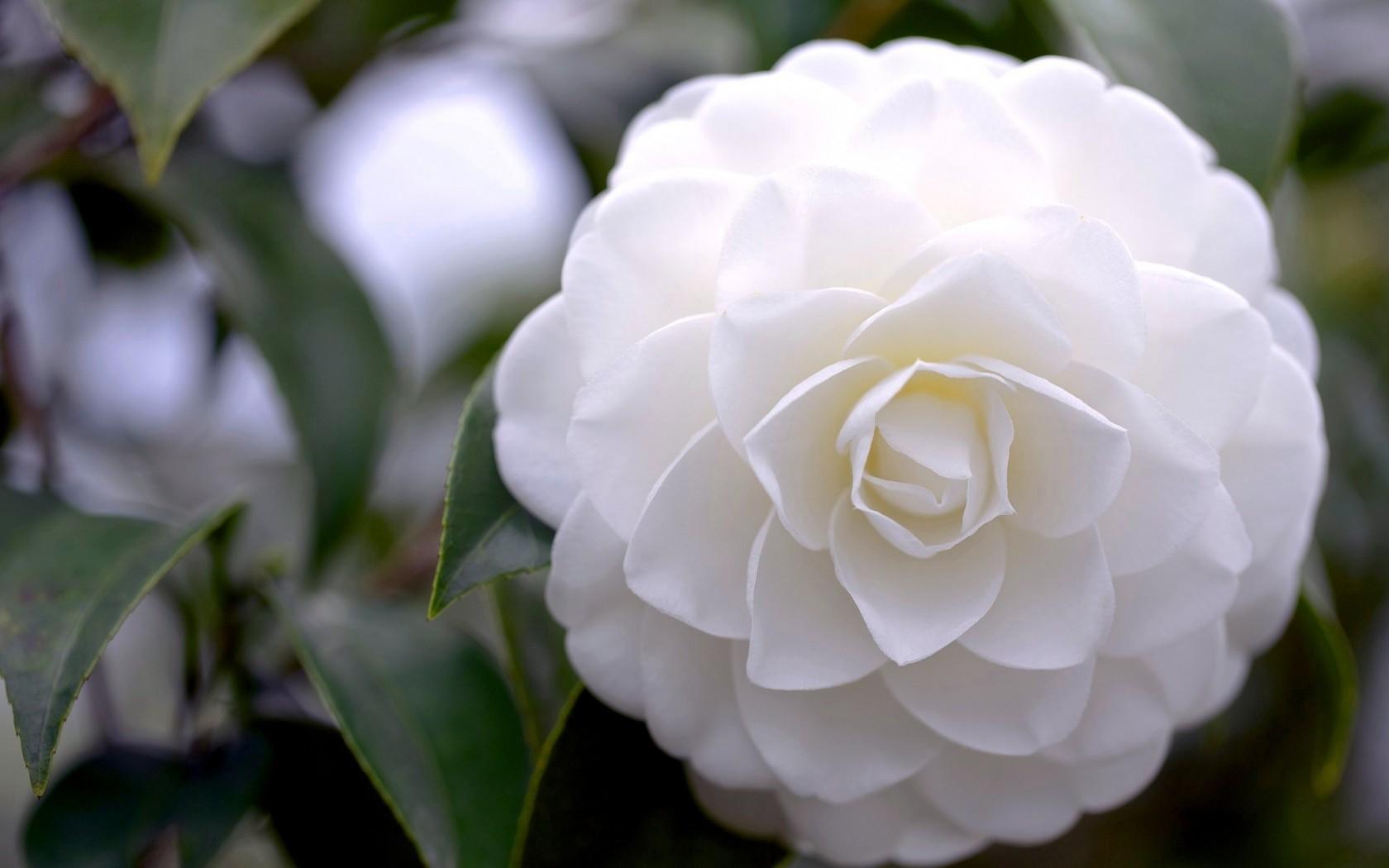 Camellia white flower 10 high resolution wallpaper camellia white flower 10 high resolution wallpaper mightylinksfo