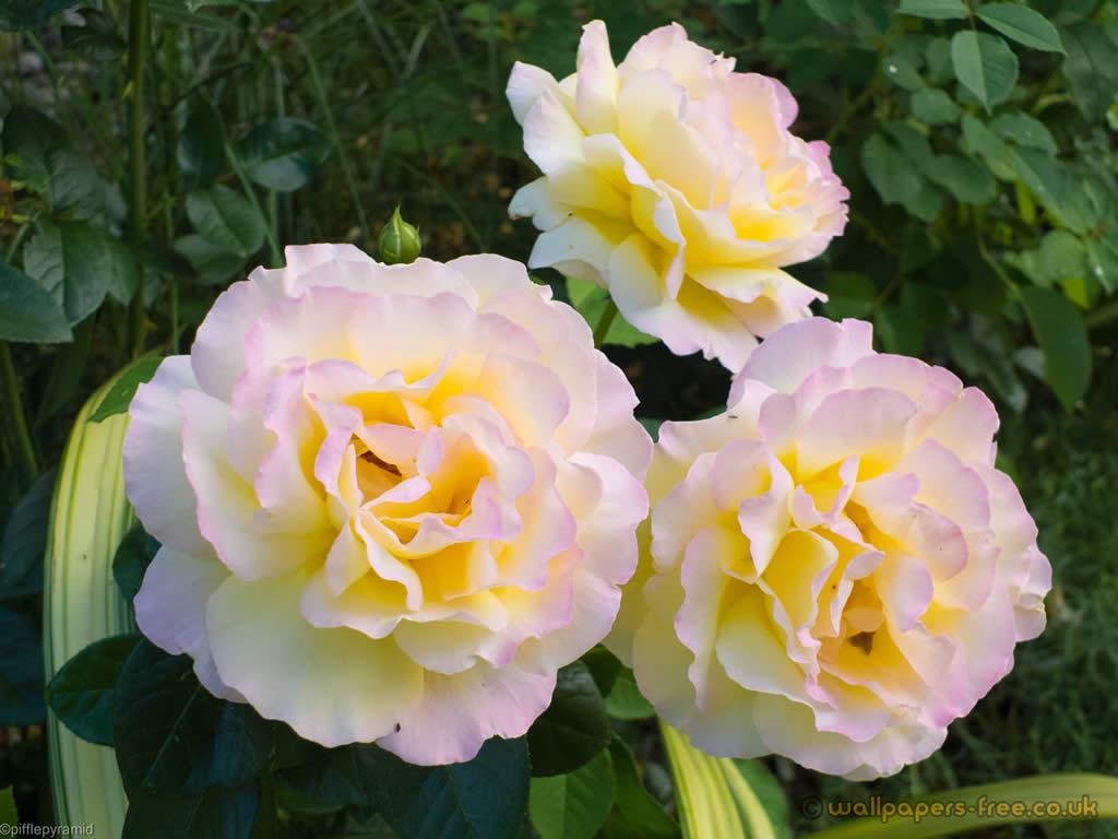 Carnation white flower 18 background hdflowerwallpaper carnation white flower 18 background mightylinksfo