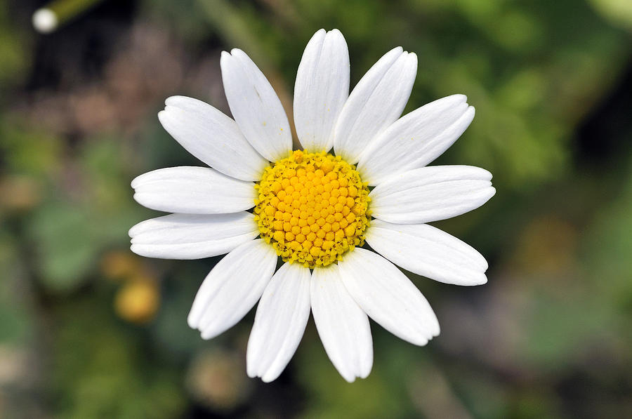 daisy flower  cool wallpaper  hdflowerwallpaper, Beautiful flower