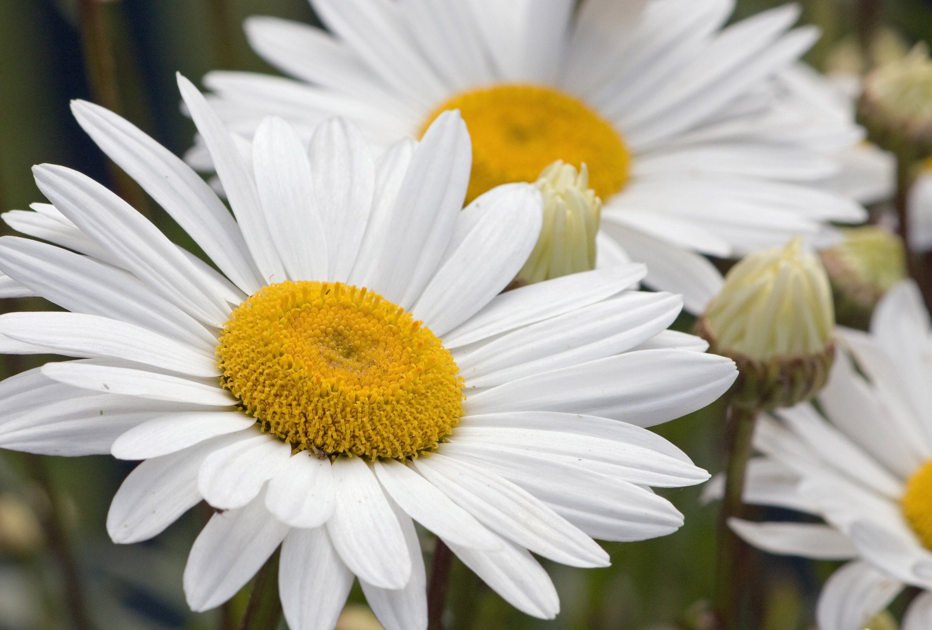 Daisy Flower 31 Cool Wallpaper Hdflowerwallpaper