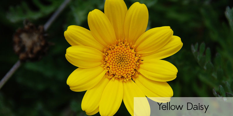 Names Of Yellow Flowers 35 Desktop Wallpaper