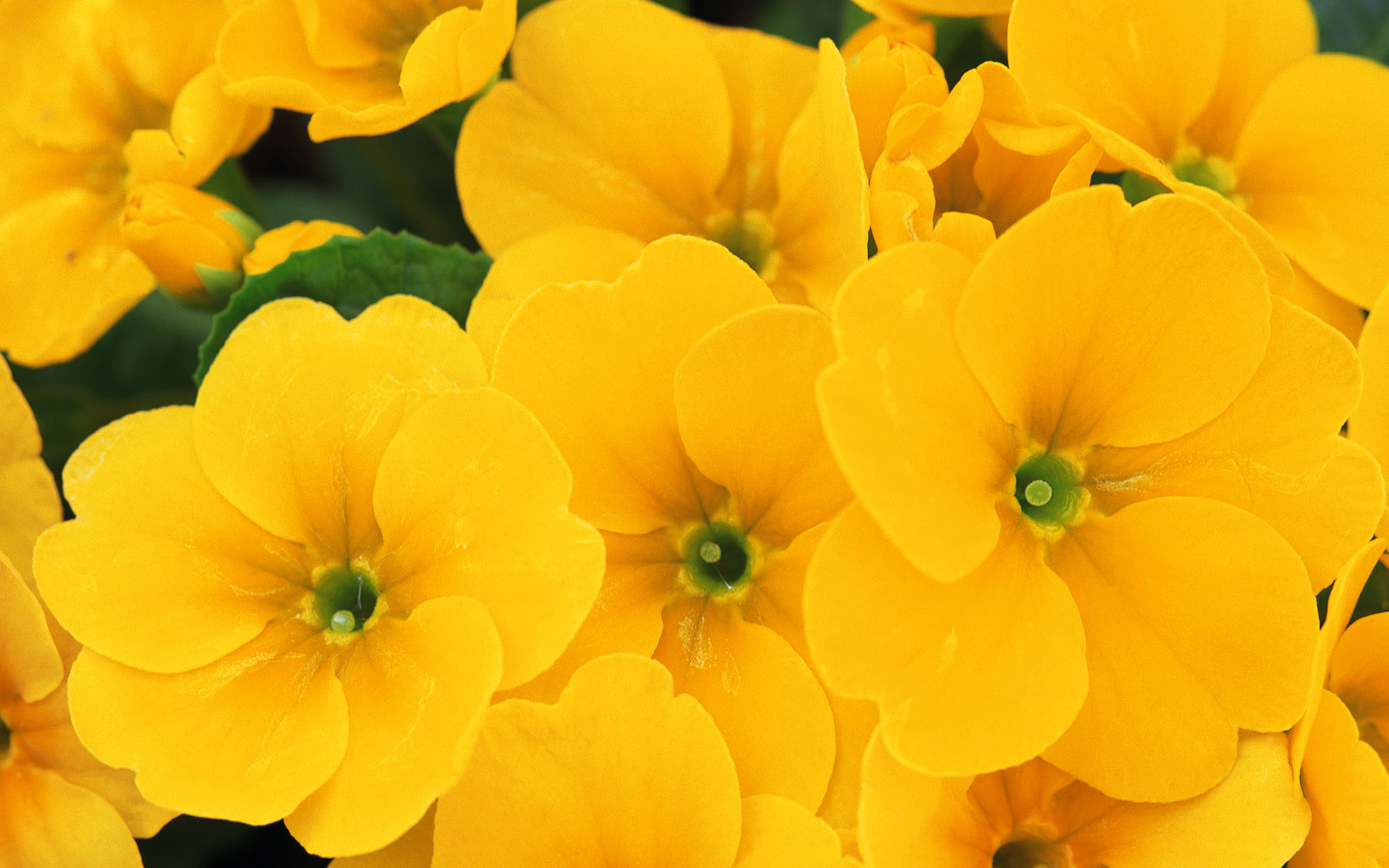 pictures of yellow flowers free wallpaper