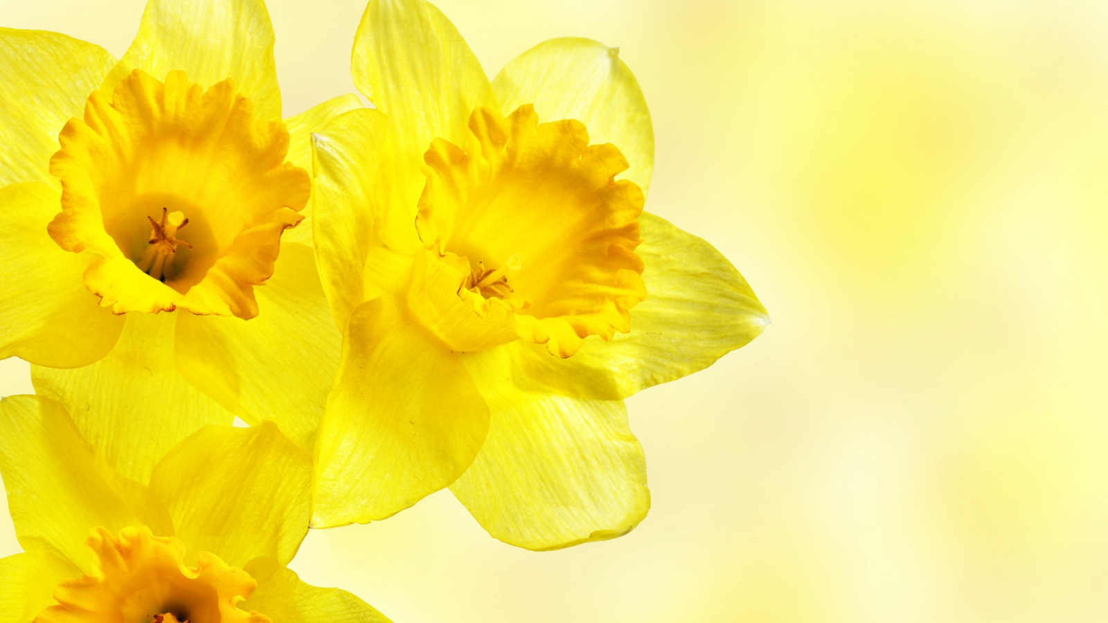 Pictures of yellow flowers 8 background hdflowerwallpaper pictures of yellow flowers hd wallpaper mightylinksfo