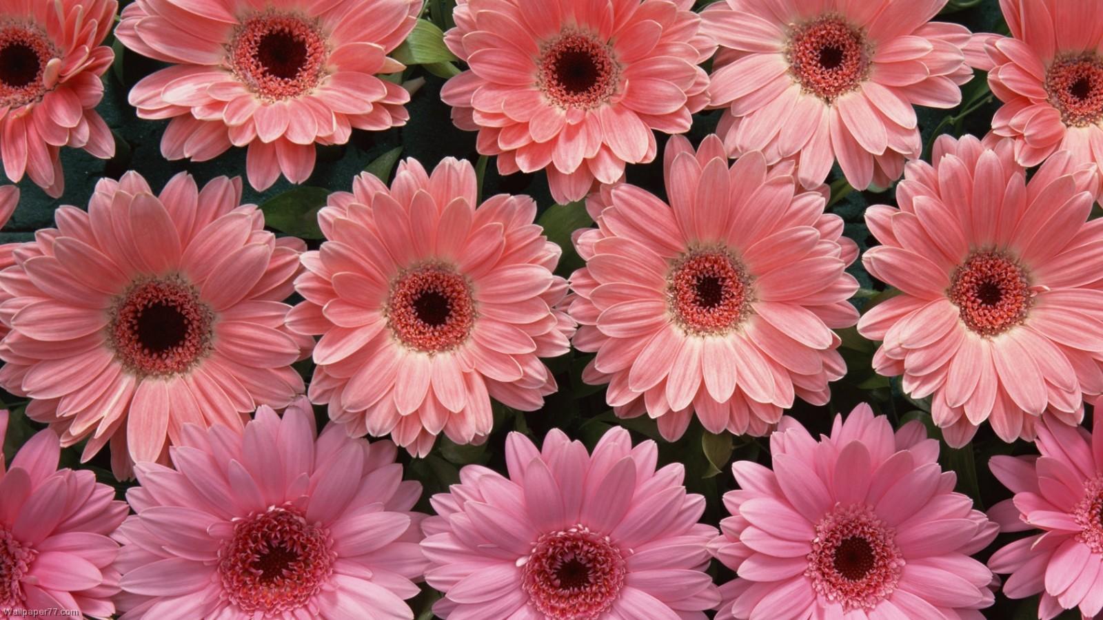Pink Flowers Desktop Wallpaper 12 Widescreen Wallpaper