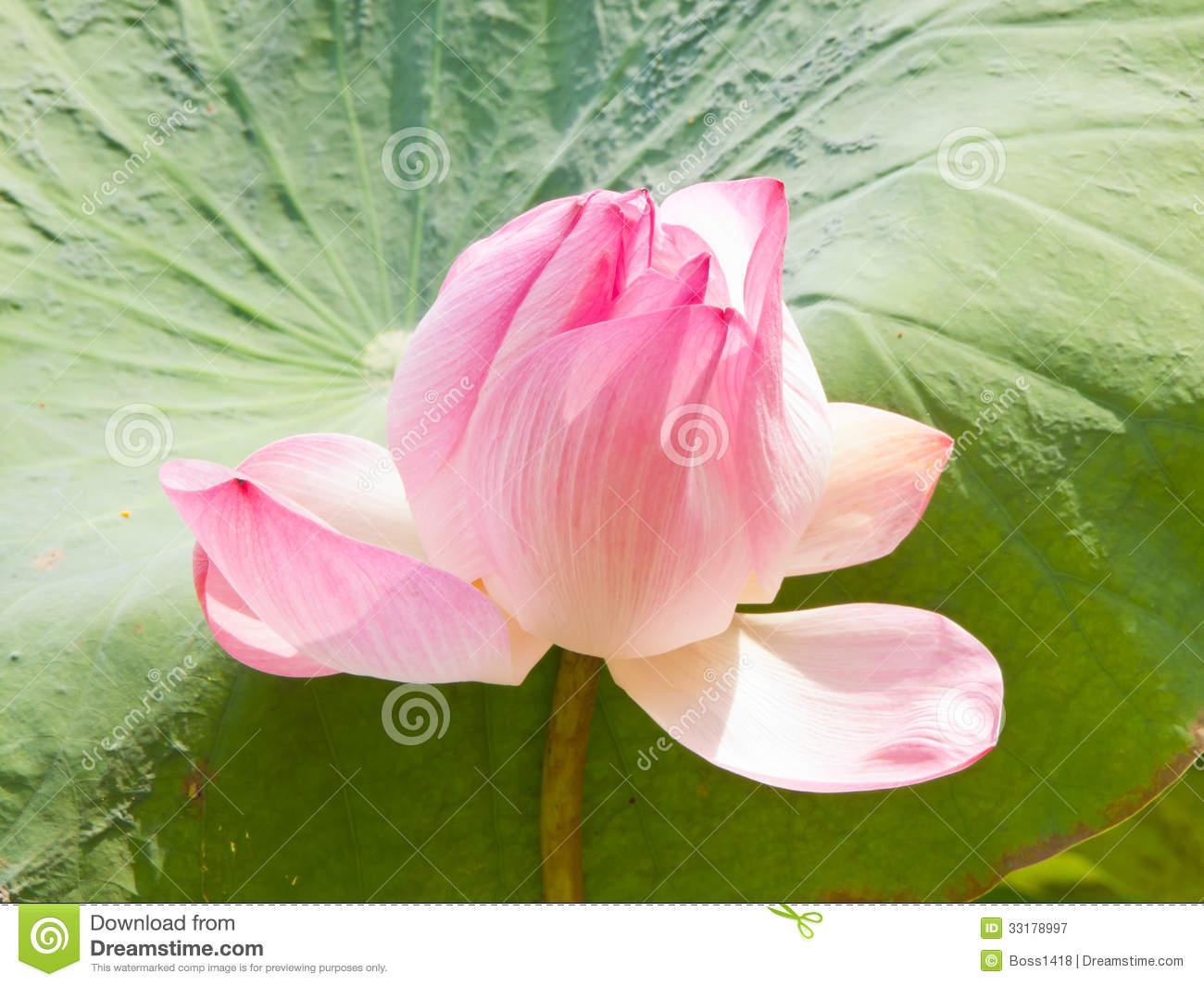 Pink lotus flower wallpaper hd pink lotus flowers wallpaper hd pink lotus 36 desktop background hdflowerwallpaper izmirmasajfo
