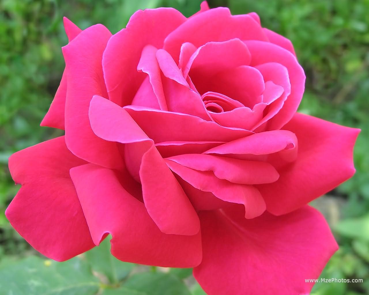 Pink Rose Wallpaper 2 Widescreen Wallpaper