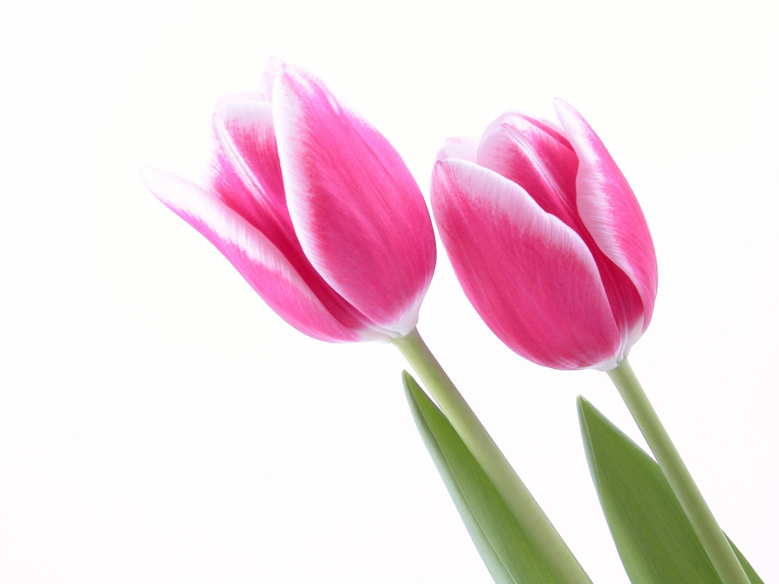 pink tulips 20 cool wallpaper