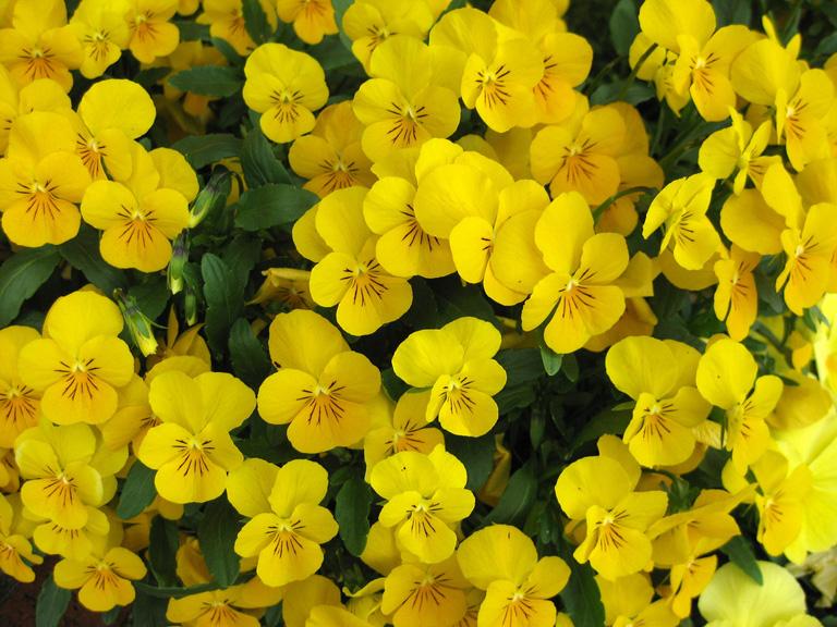 Plants with yellow flowers 24 background hdflowerwallpaper plants with yellow flowers hd wallpaper mightylinksfo