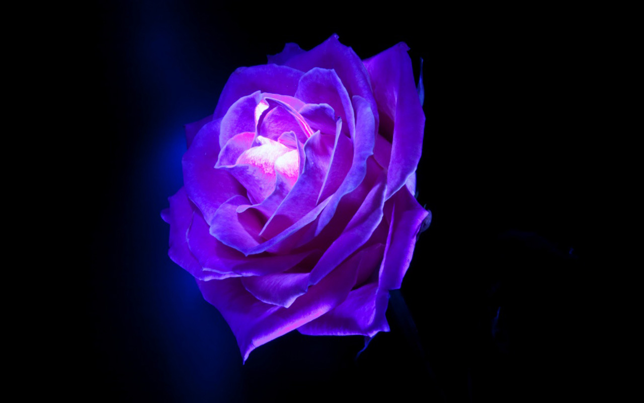 Purple Roses Wallpaper Widescreen