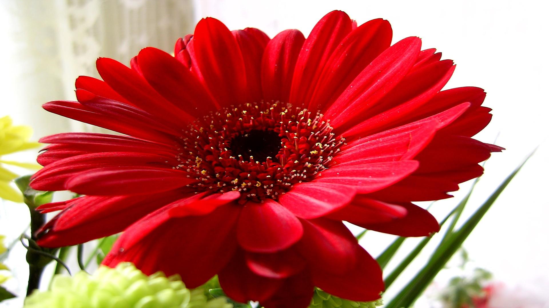 Beautiful Red Gerbera Daisy HD desktop wallpaper Widescreen