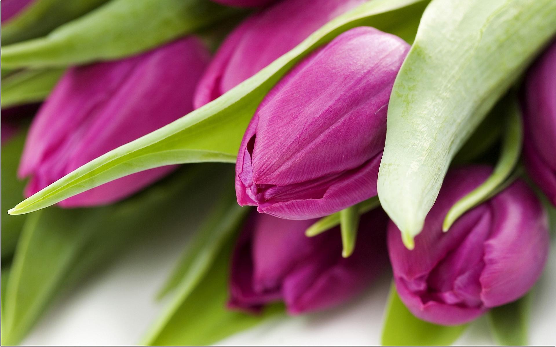 Tulip Purple Widescreen Wallpaper