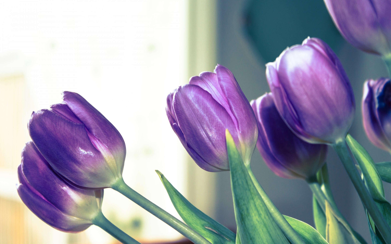 Tulip Purple Wallpaper Wide