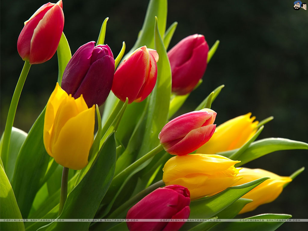 tulip wallpaper 38 cool hd wallpaper - hdflowerwallpaper