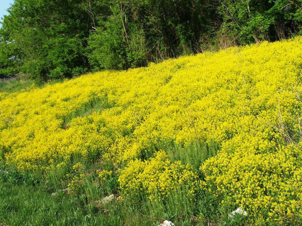 Weed With Yellow Flowers 14 Wide Wallpaper Hdflowerwallpaper