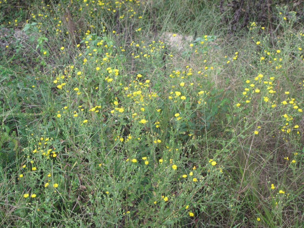 Weed With Yellow Flowers 22 High Resolution Wallpaper