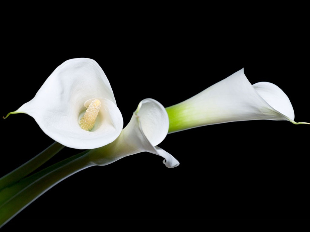 White calla lily 29 cool hd wallpaper hdflowerwallpaper white calla lily free wallpaper izmirmasajfo Image collections