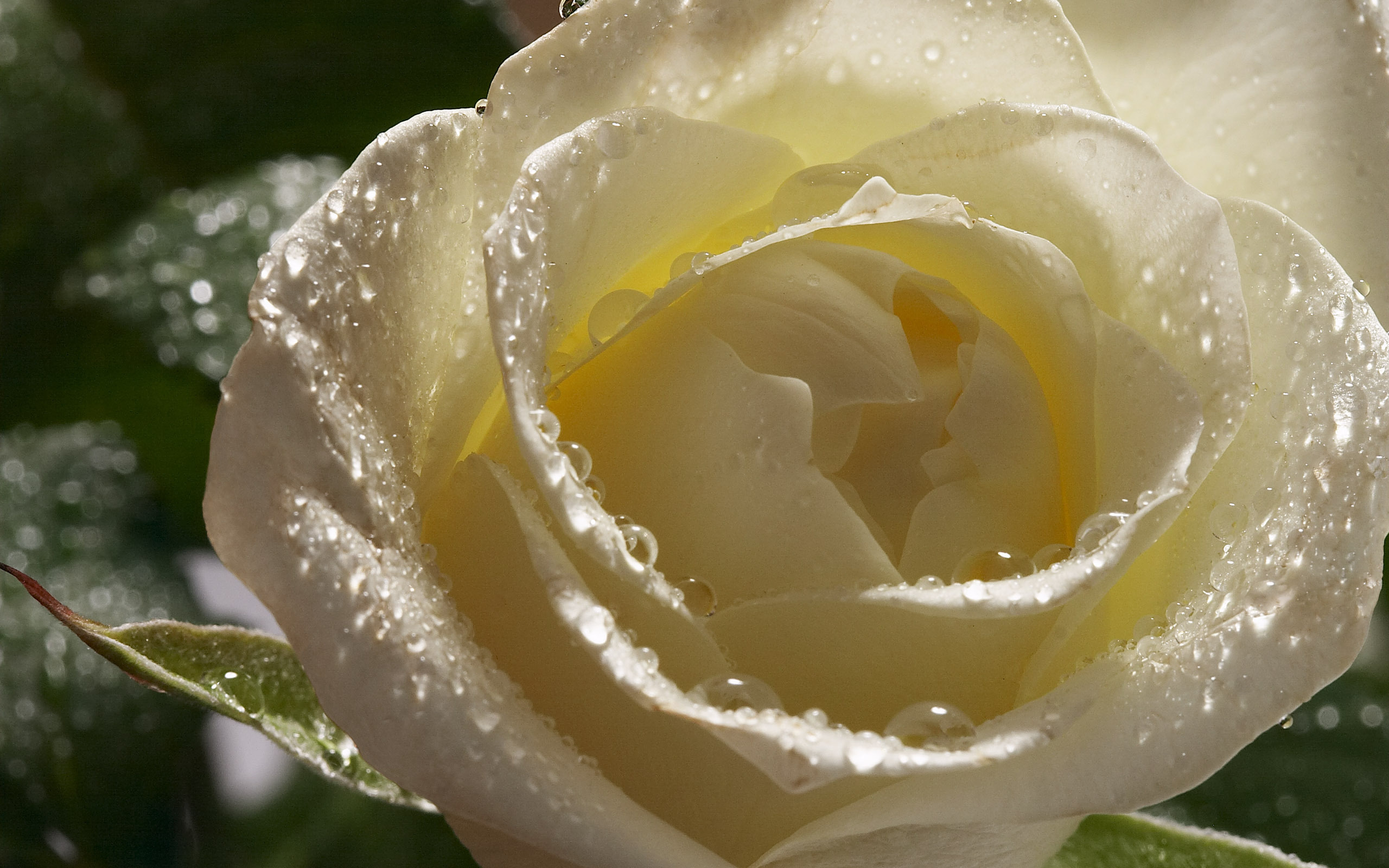 White Rose 19 Hd Wallpaper