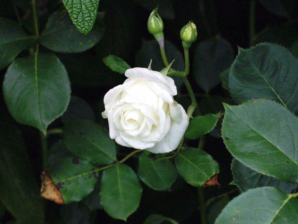 White Rose 6 Cool Hd Wallpaper Hdflowerwallpaper Com