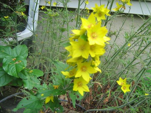Yellow flower perennial 26 background wallpaper hdflowerwallpaper yellow flower perennial free wallpaper mightylinksfo