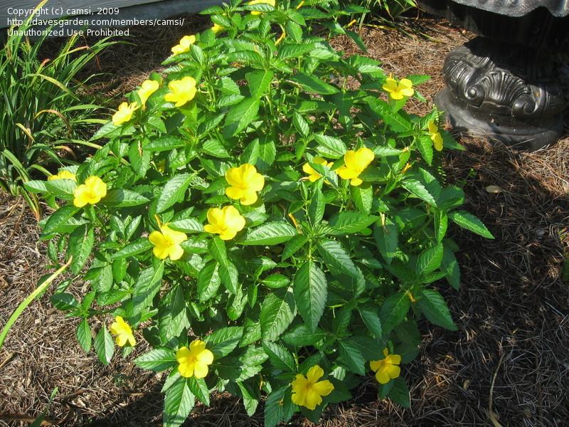 Yellow flower shrub 3 cool wallpaper hdflowerwallpaper yellow flower shrub free wallpaper mightylinksfo