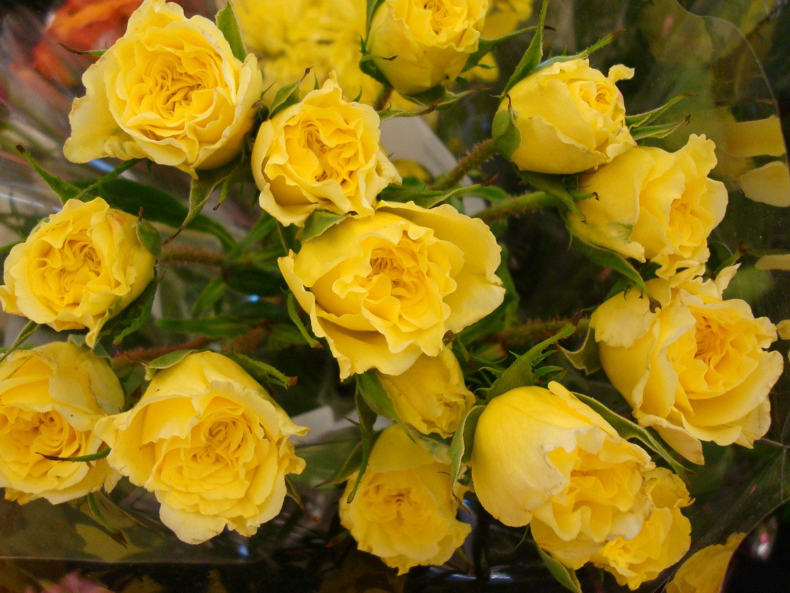 Yellow Roses Free Wallpaper